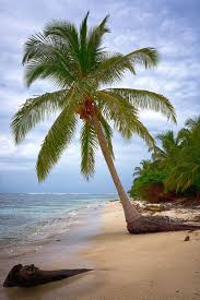 best 25 palm trees ideas on palm trees palm