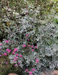 silver drop eucalyptus eucalyptus gunnii silver drop buy online at s annuals