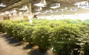 how much light do pot plants need germination marijuana seeds by sunwest genetics part 4