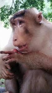 Sexy Monkey Meme - monkey has finger blown off after tourists feed it firecrackers