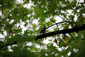 bird singing tree wildlife free nature pictures by