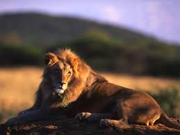 male lion wallpapers male lion wallpapers wallpaper pictures gallery
