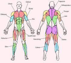 Human Anatomy Muscle Human Torso Muscles Human Anatomy Muscles Of The Torso Human