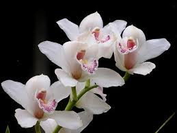 tips on growing white orchids orchid flowers