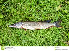 freshwater fish fisherman trophy freshwater fish pike lying on the grass stock