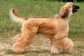 afghan hound therapy dog 10 long haired dog breeds pawculture