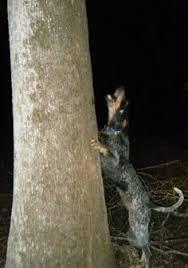 bluetick coonhound decals treeing walker coonhound puppies dogs pets pinterest treeing