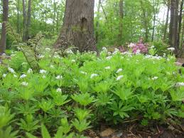 from wild patch to woodland garden sweet woodruff or gallium odoratum makes a particularly effective woodland groundcover i have it in a small bed beneath a wild cherry tree