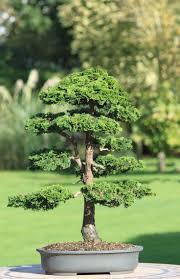 bonsai saule pleureur 588 best 2 u20e36 u20e3bonsaï images on pinterest