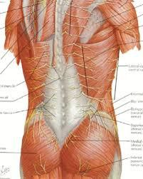 Anatomy Of Human Back Muscles Back Injuries In The Workplace Anatomy
