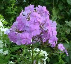 garden phlox umass amherst greenhouse crops and floriculture program
