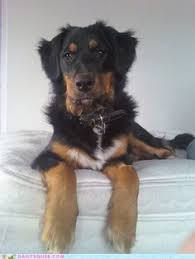 australian shepherd x lab 12 of the best hybrid dogs that the world has to offer blue the