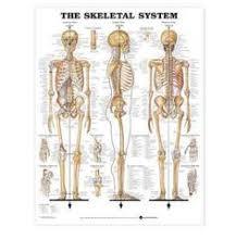 Knee Bony Anatomy Broosart Illustration Knee Bones Anatomy Skeleton Human