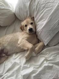 Comfort Retriever Puppies For Sale Taylormade Miniature Golden Retriever