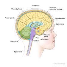 Gross Brain Anatomy Anatomy Of Spinal Cord In Brain Human Anatomy Library
