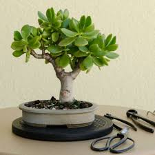 4 Steps to Prune the Perfect Jade Bonsai See more at