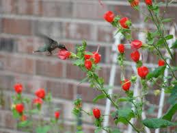 Turks Cap Hummingbird At Turk U0027s Cap Ellis County Master Gardener Association