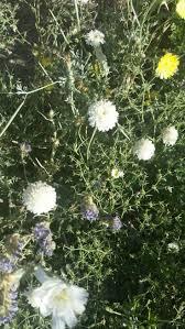 97 best desert flowers images on pinterest desert flowers