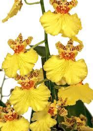 oncidium orchid free photo oncidium orchid yellow orange free image on