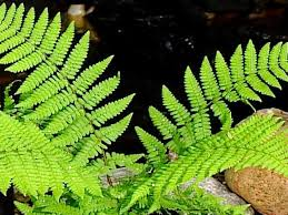 shade tolerant native plants shade tolerant plants diy