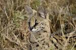 Image result for Leptailurus serval