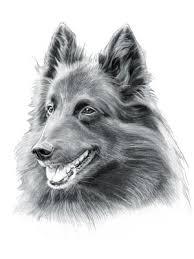 belgian sheepdog breeders uk belgian shepherd