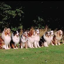 buy a australian shepherd australian shepherd puppies for sale