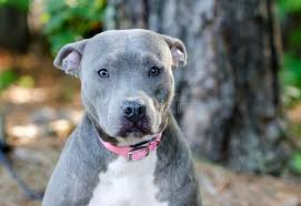 american pit bull terrier website blue american pitbull terrier dog stock photo image 96422380