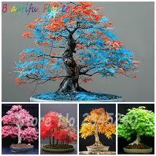 sale exclusive sales 50pcs rainbow maple seeds bonsai