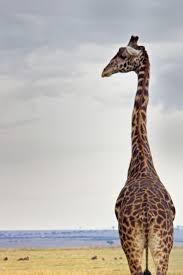 best 25 giraffe photos ideas on pinterest baby giraffes baby