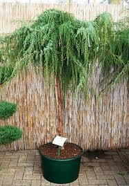 weeping trees for small gardens cori matt garden