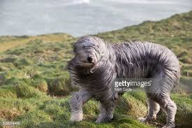 bearded collie x terrier dogs in the wind photo album getty images