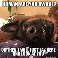 Funny German Shepherd Memes - best 25 ideas about german shepherd memes find what you ll love
