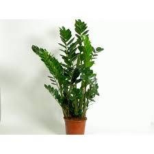 home 187 zamioculcas plant indoor plant for awesome indoor hanging