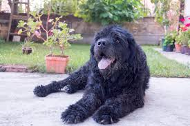 Dog In The Backyard by Portrait Of An Old Black Dog In The Backyard Stock Photo Image
