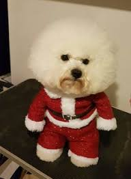 bichon frise kentucky loved by kiwis http www mahlon com bichons pinterest