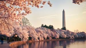 National Cherry Blossom Festival by West End This Spring Park Hyatt Washington D C Celebrates The