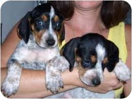 bluetick coonhound sale bluetick coonhounds adopted puppy greensburg pa bluetick
