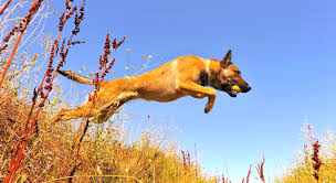 belgian shepherd dog club of canada 5 things to know about belgian malinois petful
