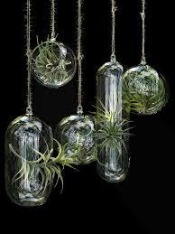 hanging air plant air plants