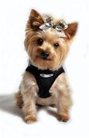 hair accessories for yorkie poos here are some images that you can get idea about yorkie hairstyles