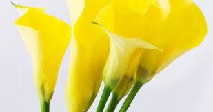 yellow calla bloomiq