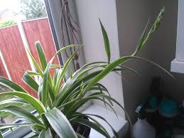 how to multiply your spider plants 4 steps with pictures