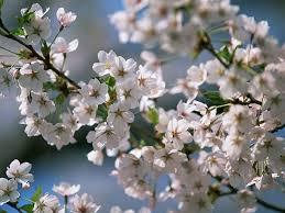 white cherry blossom white cherry blossom wallpaper 27 wallcoo net