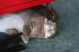 bonding rabbits pet rabbit bonding