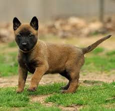 belgian malinois puppies for sale 2016 belgian malinois puppies for sale