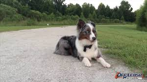 is an australian shepherd smart 1 year old australian shepherd luke amazing results youtube