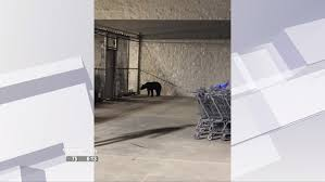 shoppers encounter black bear walmart parking lot