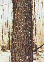 southern pine beetles can kill your ornamental pine
