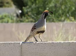 roadrunners and quail birdingthebrookeandbeyond